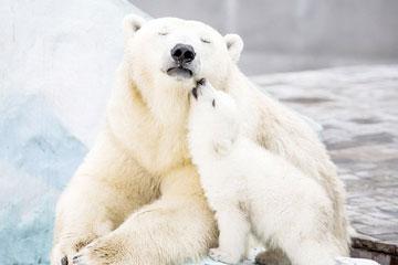 Ours polaire et câlin, couleur blanche : 5 éléments de la pensée chinoise